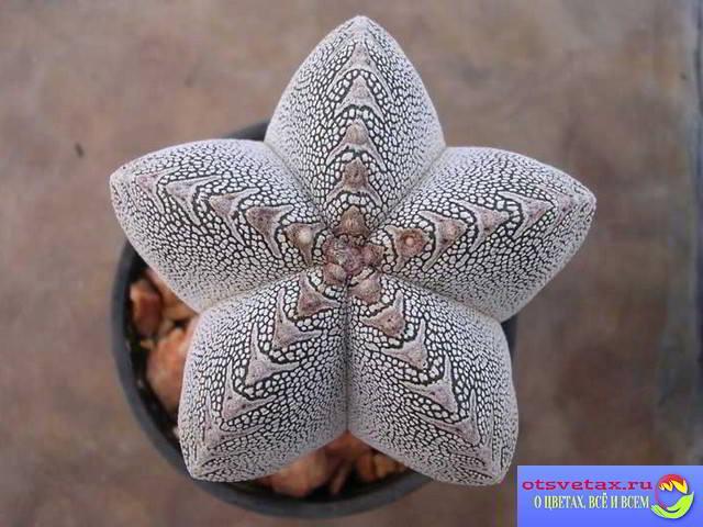 кактус астрофитум фото