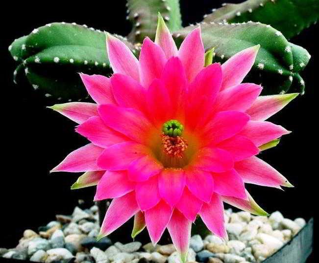 виды кактусов фото