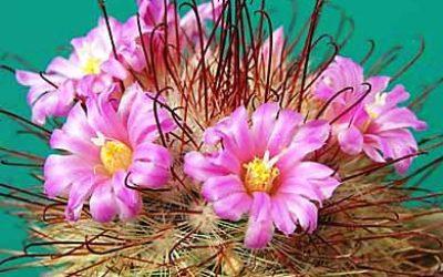 кактусы виды фото названия