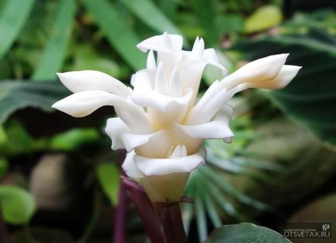 калатея уход в домашних условиях фото цветение