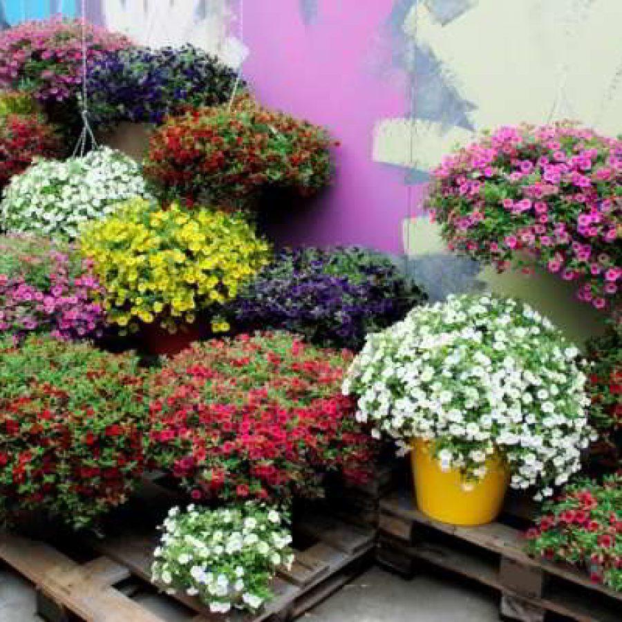 цветы калибрахоа