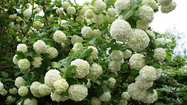цветущий кустарник фото с названиями