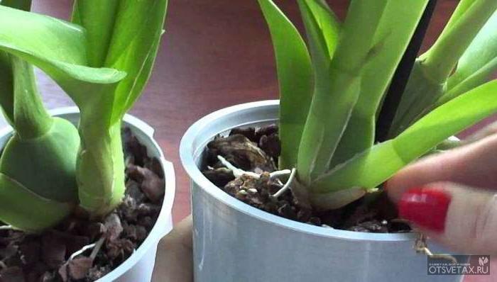 орхидея уход в домашних условиях фото пересадка видео