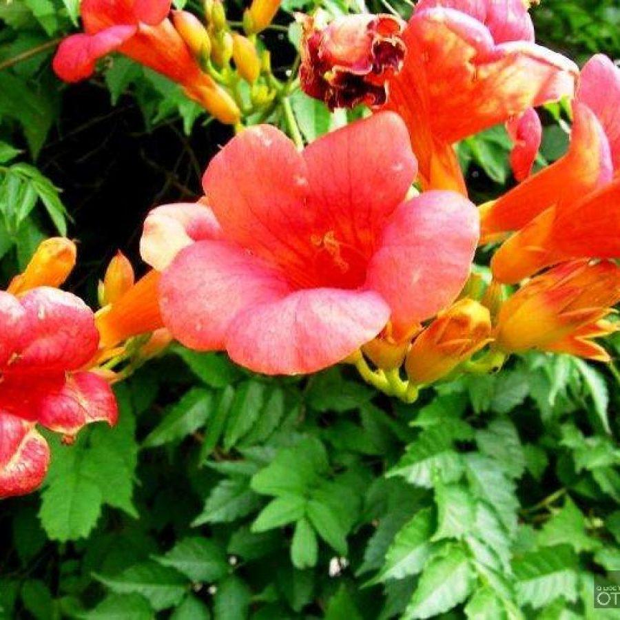 вьющиеся растения для сада фото и названия кампсис