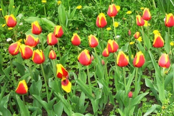 посадка тюльпанов осенью на южном урале