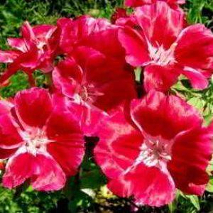 Кларкия: выращивание из семян, когда сажать в открытый грунт