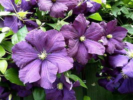клематисы мелкоцветковые сорта фото
