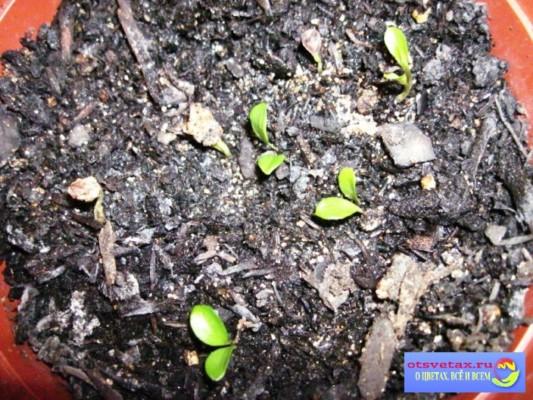 клематис из семян посадка и уход за рассадой