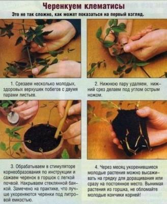 клематис посадка и уход в открытом грунте размножение