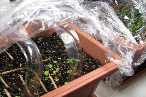 вырастить клубнику из семян в домашних условиях