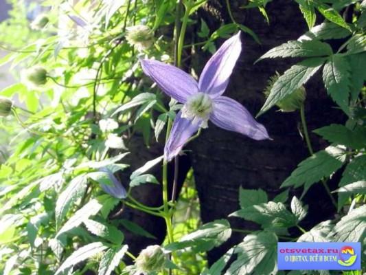 вьющиеся растения для забора быстрорастущие для сибири