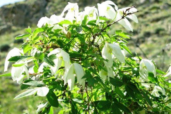 вьющиеся растения для сада фото и названия клематисы