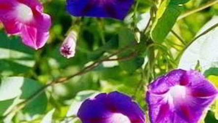 Кобея лазающая: выращивание из семян когда сажать на балконе, в Сибири