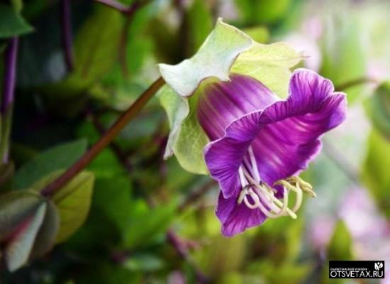 кобея выращивание из семян в домашних условиях в сибири