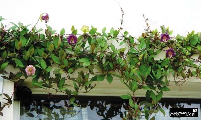 кобея выращивание из семян в домашних условиях форум