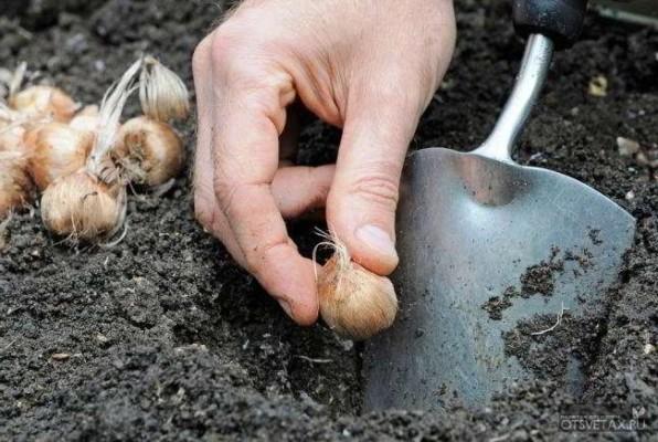 когда и как сажать крокусы луковицами