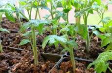 Когда можно сажать рассаду помидор в 2018 году для открытого грунта, для теплицы