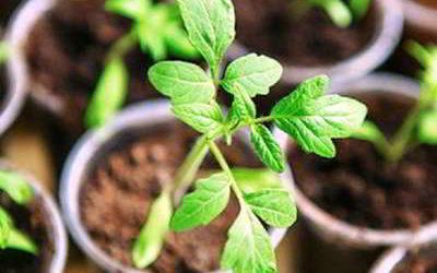 Когда можно сажать томаты на рассаду в 2018 году по Лунному календарю