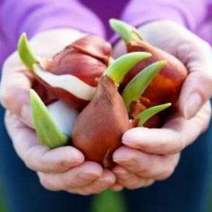 Когда и как сажать осенью луковицы тюльпанов