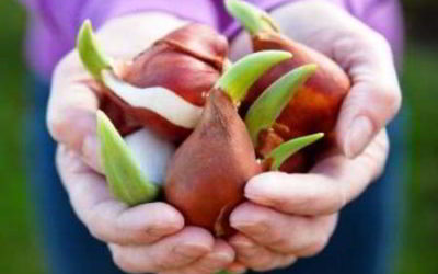 тюльпаны когда сажать луковицы осенью