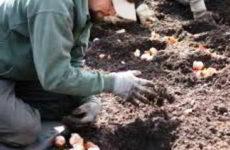 Когда и как правильно сажать осенью тюльпаны