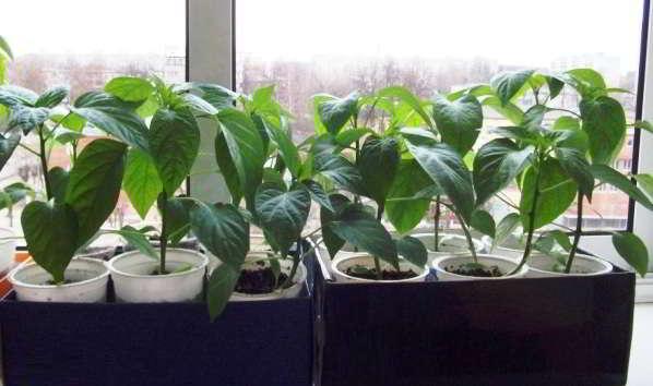 садим перец на рассаду по лунному календарю