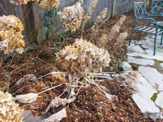 как укрыть на зиму гортензию