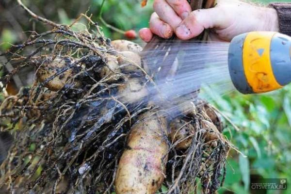 когда выкапывать георгины осенью и гладиолусы
