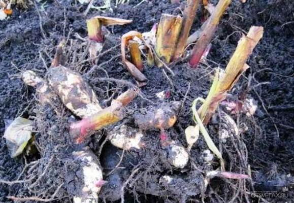 когда выкапывать георгины осенью в сибири