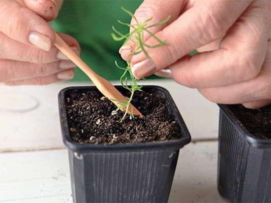 кохия выращивание из семян