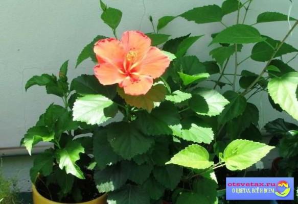 Китайская домашняя роза уход в домашних условиях фото