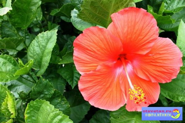 комнатная роза уход в домашних условиях цветение