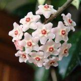 цветы комнатные цветущие фото и названия вьющиеся
