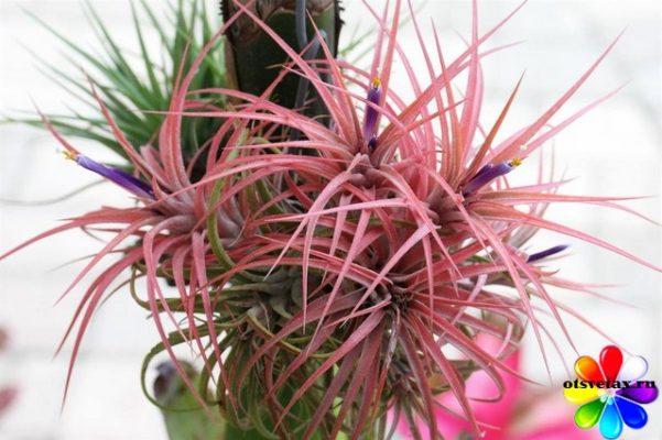 комнатные растения для влажности воздуха Tillandsia