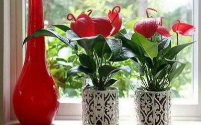 Антуриум мужское счастье можно ли этот цветок держать в доме?