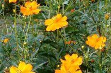 Космея: выращивание из семян когда сажать цветы на рассаду