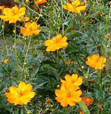 Космея выращивание из семян в домашних условиях как и когда 87