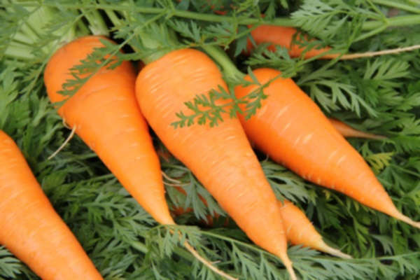 посадка моркови осенью под зиму лучшие сорта