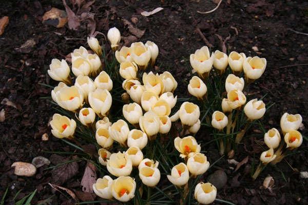 крокусы посадка и уход в открытом грунте весной