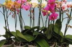 Орхидея после покупки: правила ухода в домашних условиях