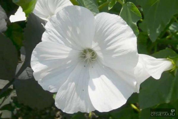 лаватера выращивание из семян когда сажать ампельная