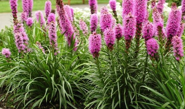 неприхотливый многолетний цветок