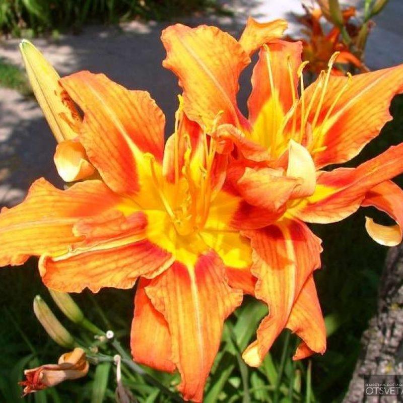 садовые лилейники фото