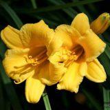 лилейник желтый фото