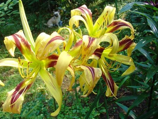 многолетние цветы цветущие +все лето