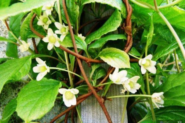 вьющиеся цветы для сада фото и названия многолетние
