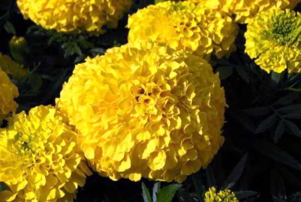 сорта желтых бархатцев