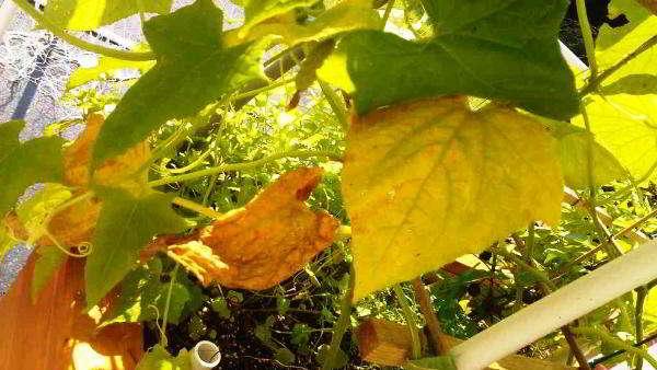 листва огурцов увядает и усыхает в теплице