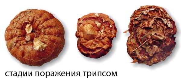 луковица гладиолуса болезни