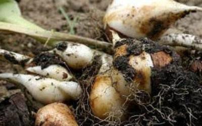 ттюльпаны когда выкапывать луковицы и высаживать